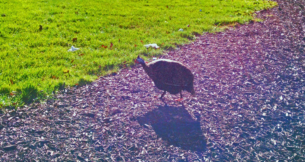 The guinea fowl who has made a home on the Tri-C Metro Campus has reportedly been seen to be hanging out here as long ago as 2010. A contest is in place to have more photos taken on this creature. Photo by Marc Prince